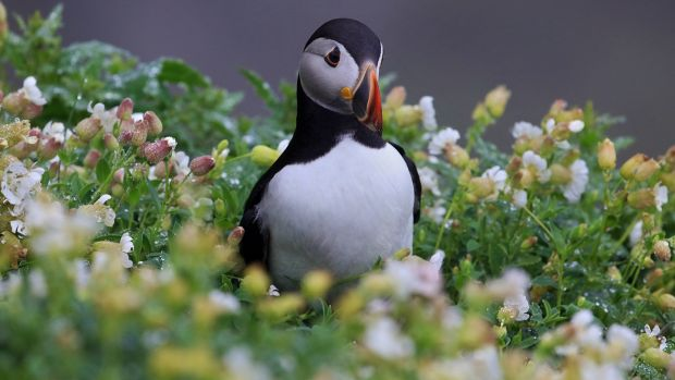 Skellig Puffin