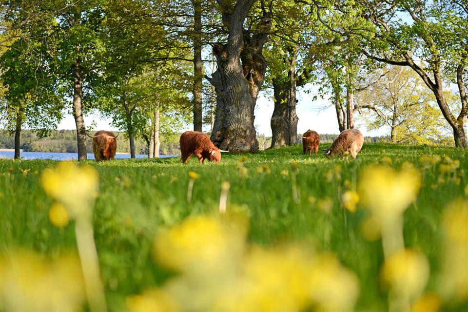 Krusenberg Herrgård Highland Cows