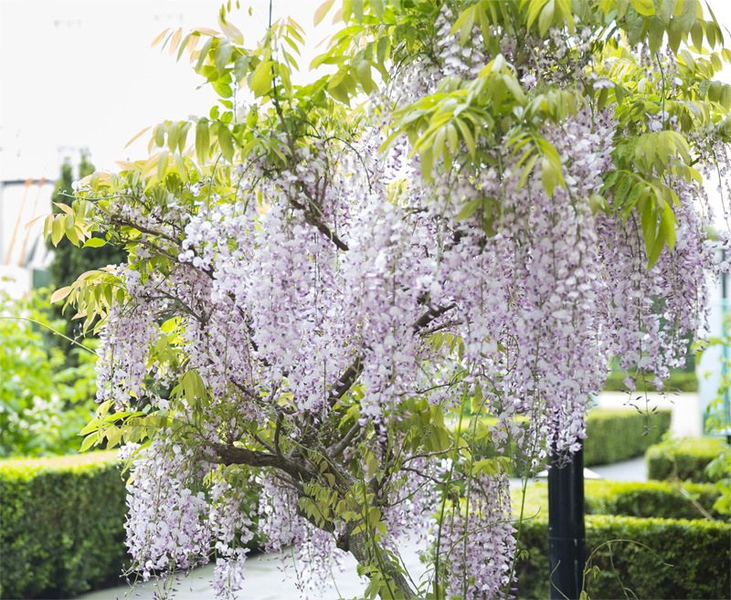 merrion hotel gardens